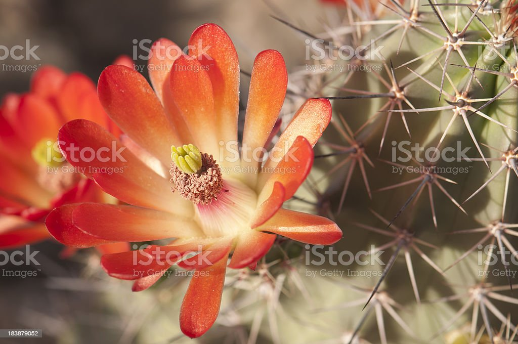 Beautiful Hedgehog Cactus Blossoms stock photo