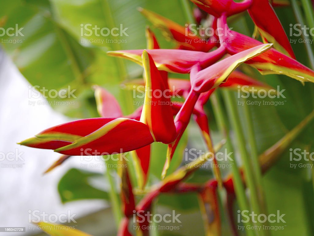 Beautiful Heliconia flower blooming in vivid colors stock photo