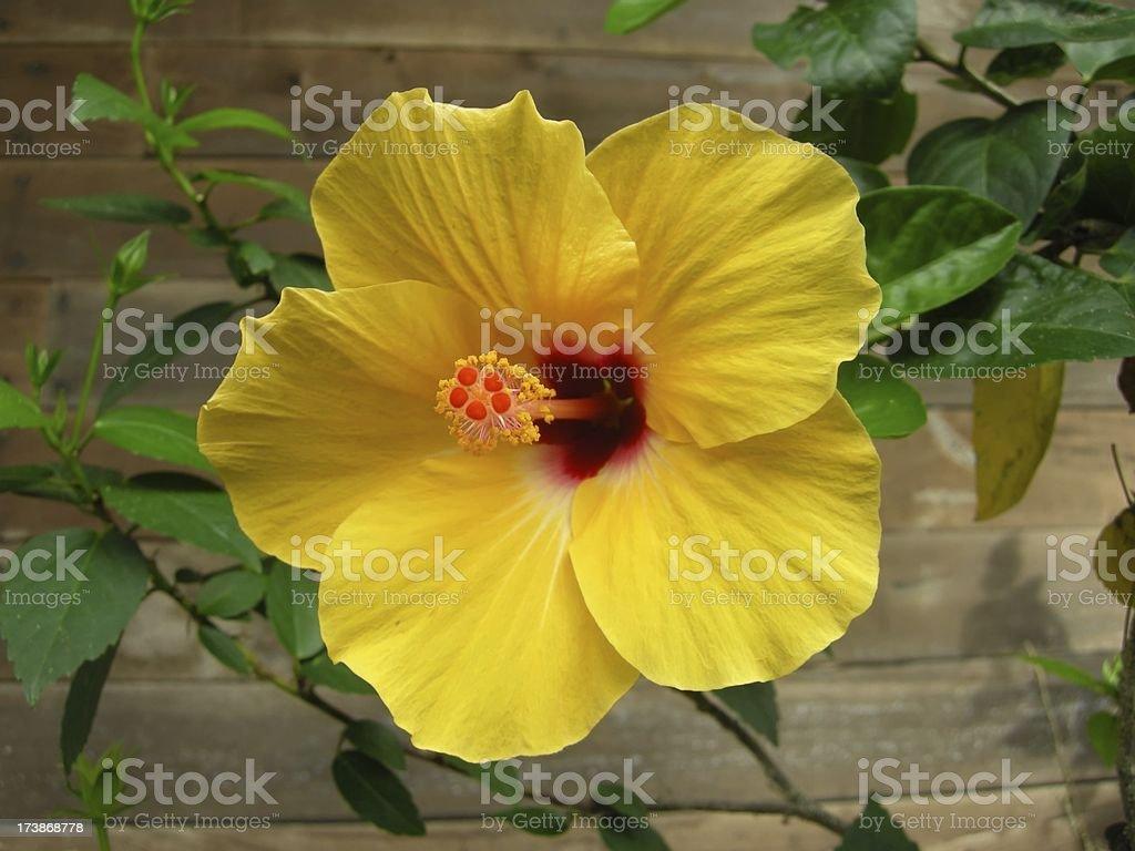 beautiful hibiscus stock photo