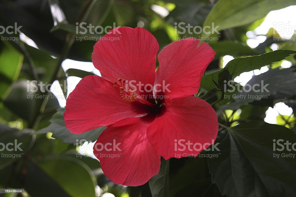 beautiful hibiscus royalty-free stock photo