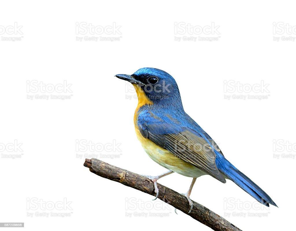 Beautiful Hill Blue Flycatcher bird perching on the stick isolat stock photo