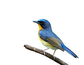 Beautiful Hill Blue Flycatcher bird perching on the stick isolat