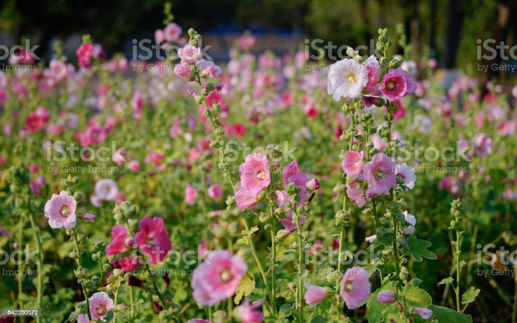 Beautiful Hollyhocks under the sunligth, Alcea, Flowerbed stock photo