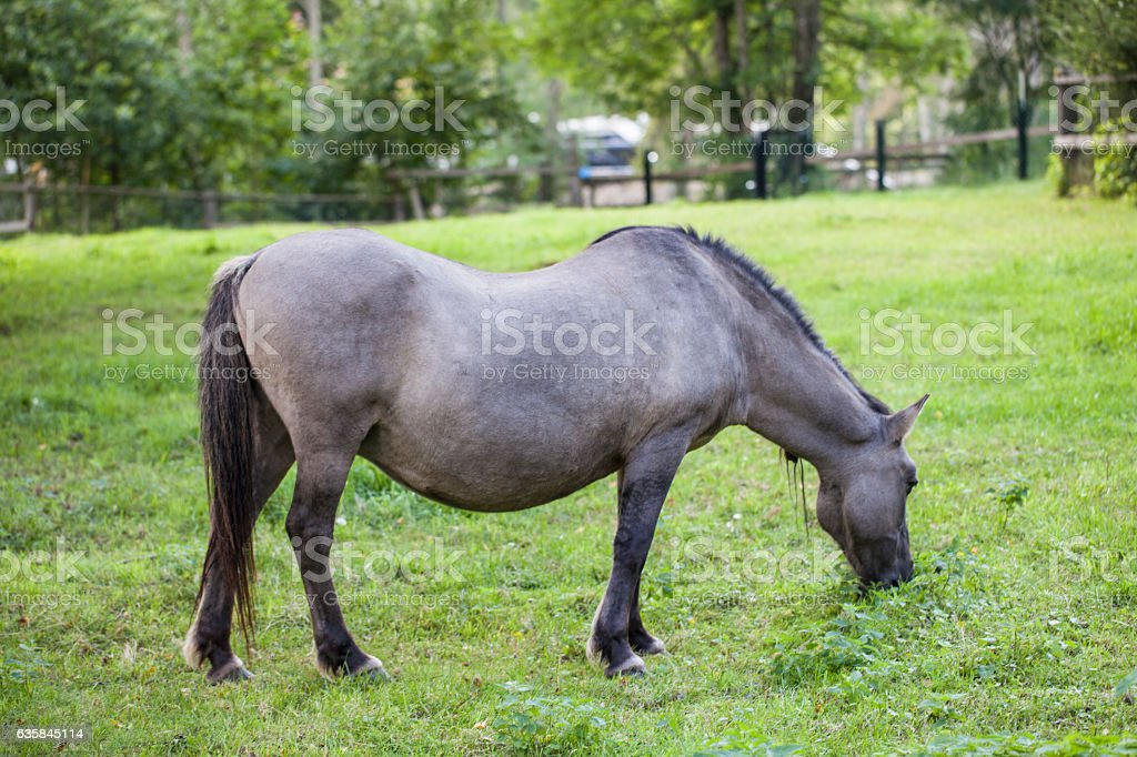 beautiful horse , Bialowieza National Park stock photo