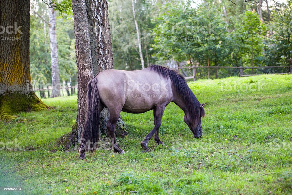 beautiful horse eats the grass, Bialowieza National Park stock photo
