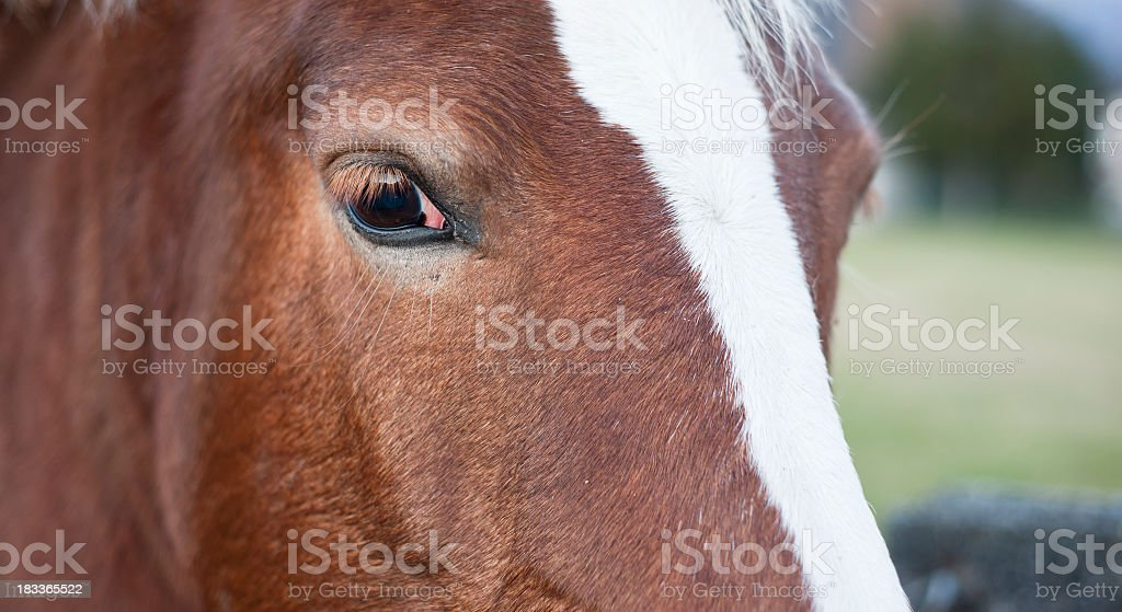 Beautiful Horse Portrait Close Up stock photo