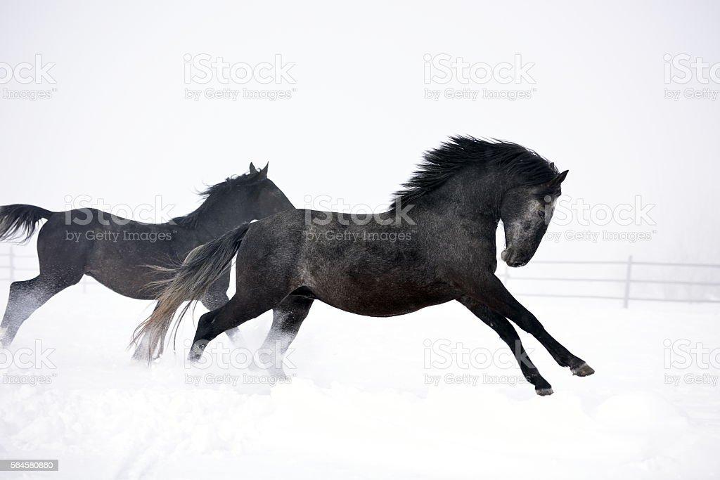 Beautiful horse running in winter stock photo