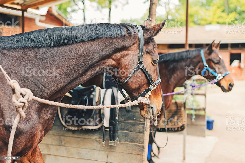 Beautiful horses with reins in stable stock photo