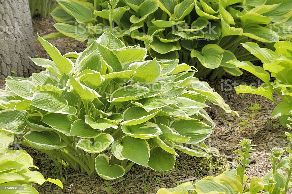 Beautiful Hostas stock photo
