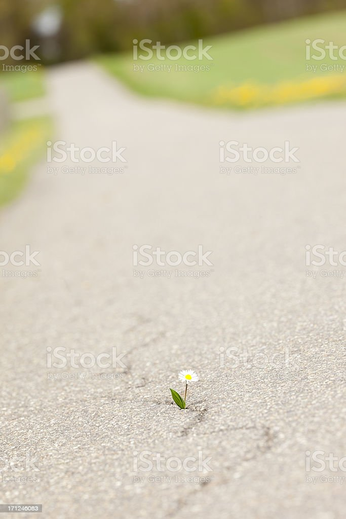 beautiful humble daisy fighting own way trough the asphalt royalty-free stock photo