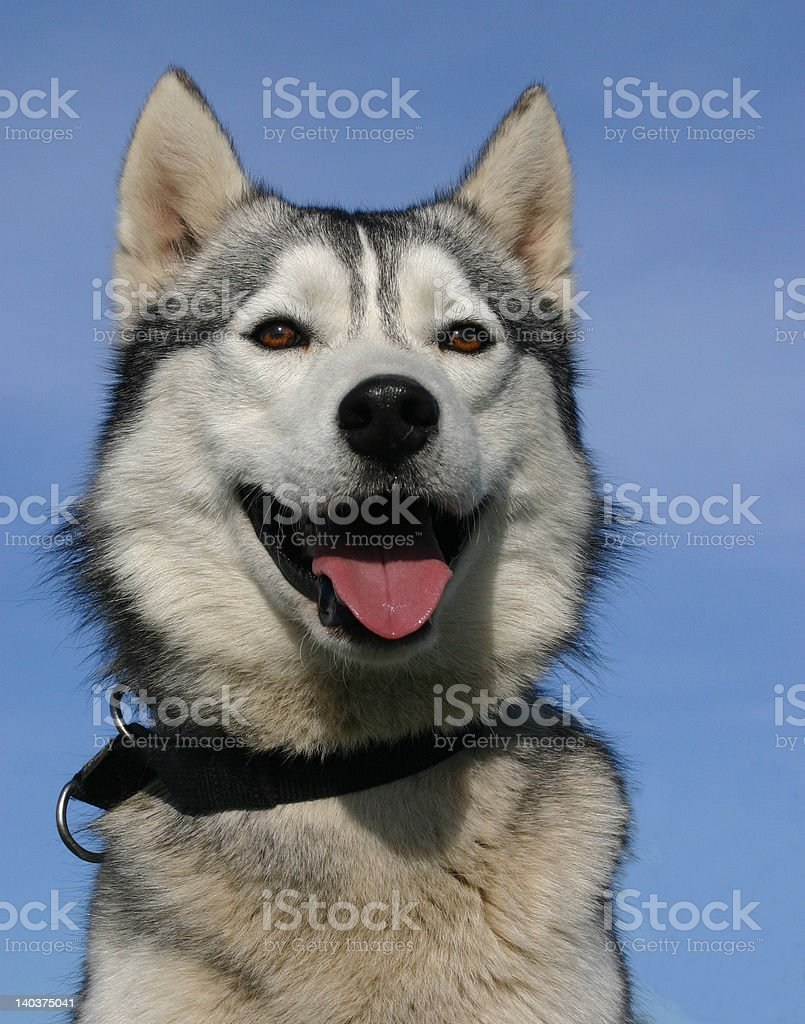 beautiful husky royalty-free stock photo