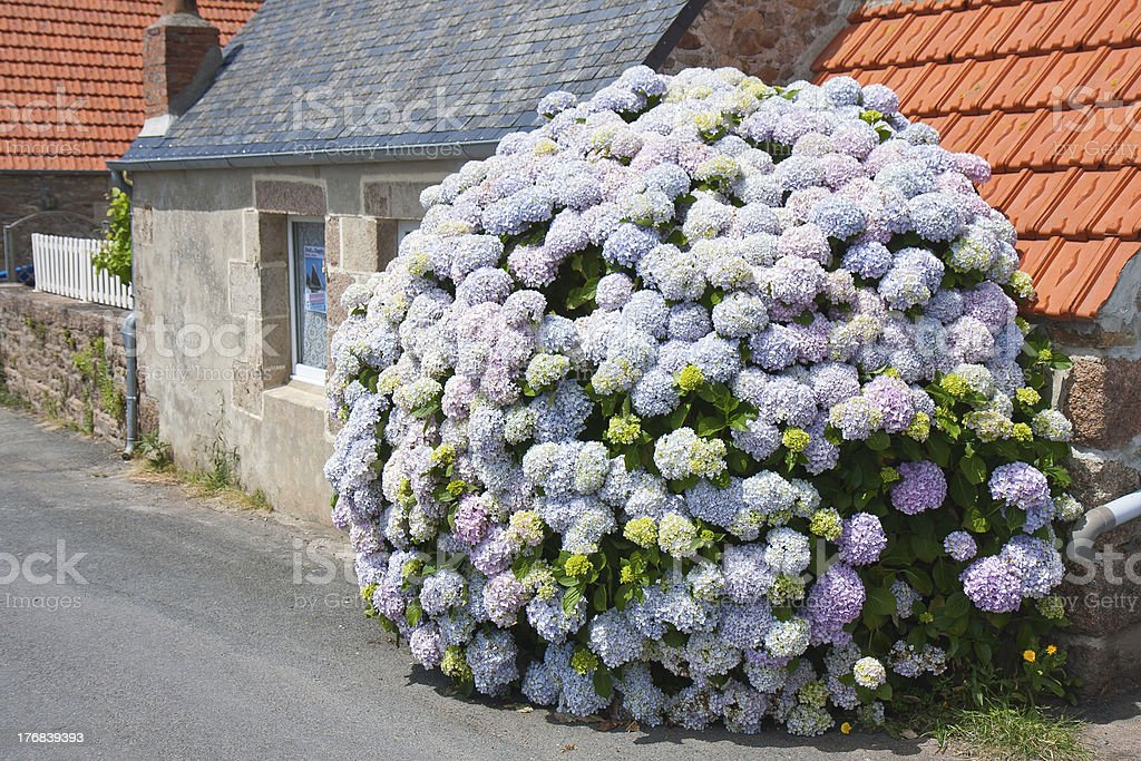 Beautiful hydrangea in front of a cottage, Brittany France royalty-free stock photo