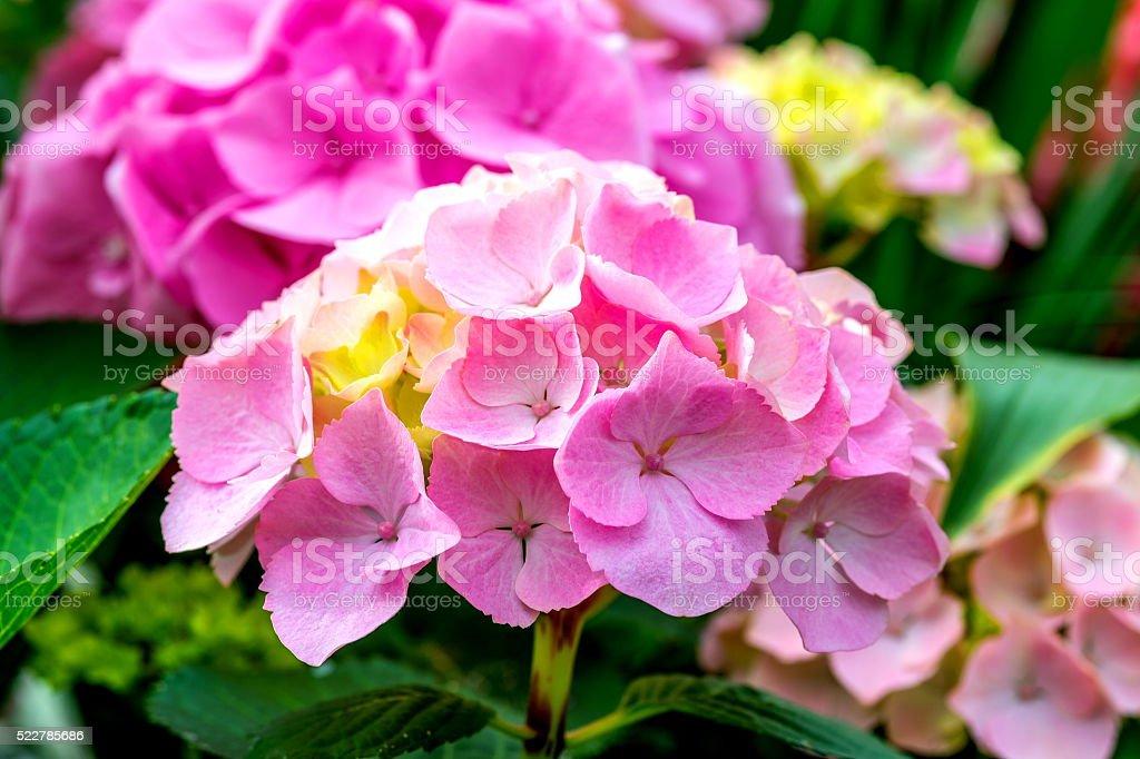 Beautiful Hydrangea stock photo