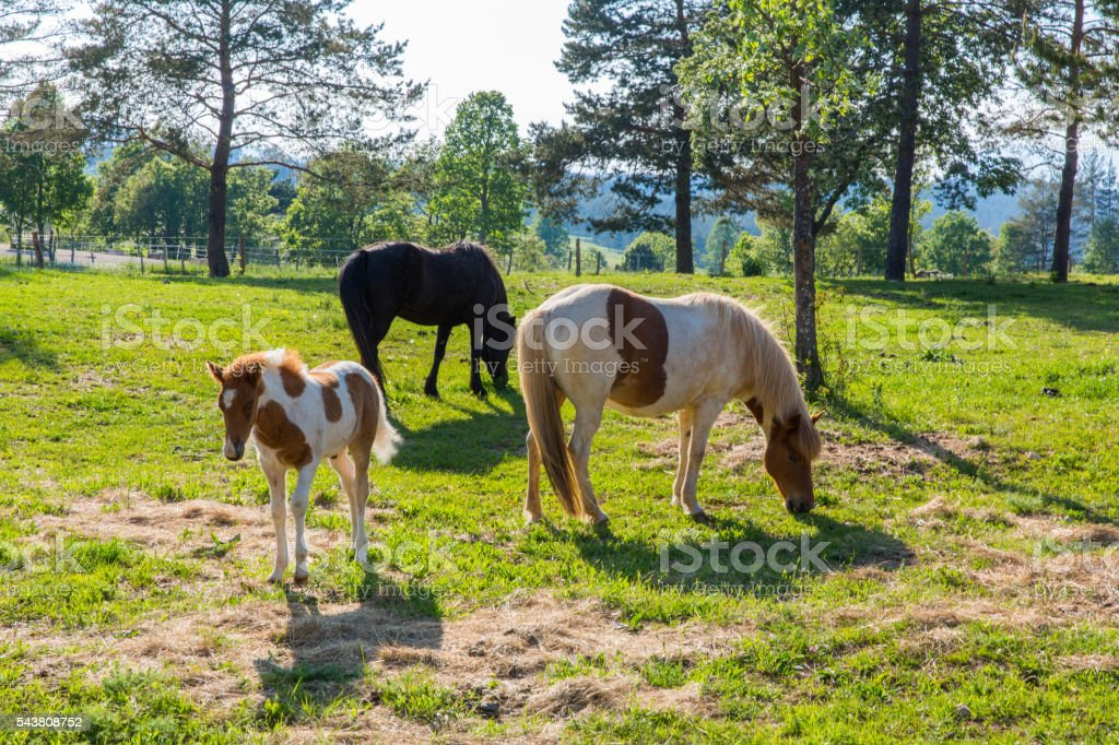 Beautiful icelandic female horse with her newborn foal on pasture stock photo