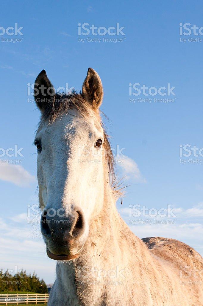 Beautiful if somewhat dirty dapple gray horse looking at camera. royalty-free stock photo