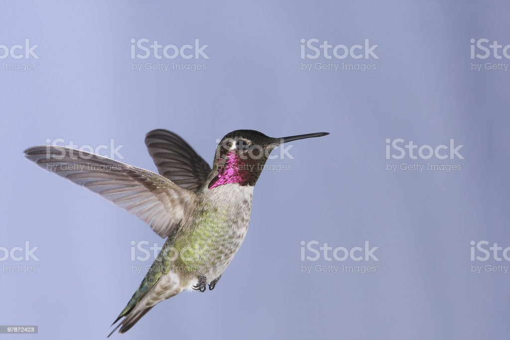 Beautiful image of Annas Hummingbird in mid flight royalty-free stock photo