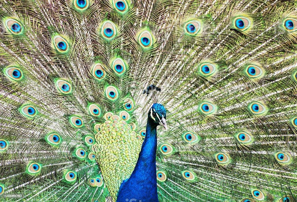 Beautiful Indian peafowl - Pavo cristatus - male (peacock) stock photo