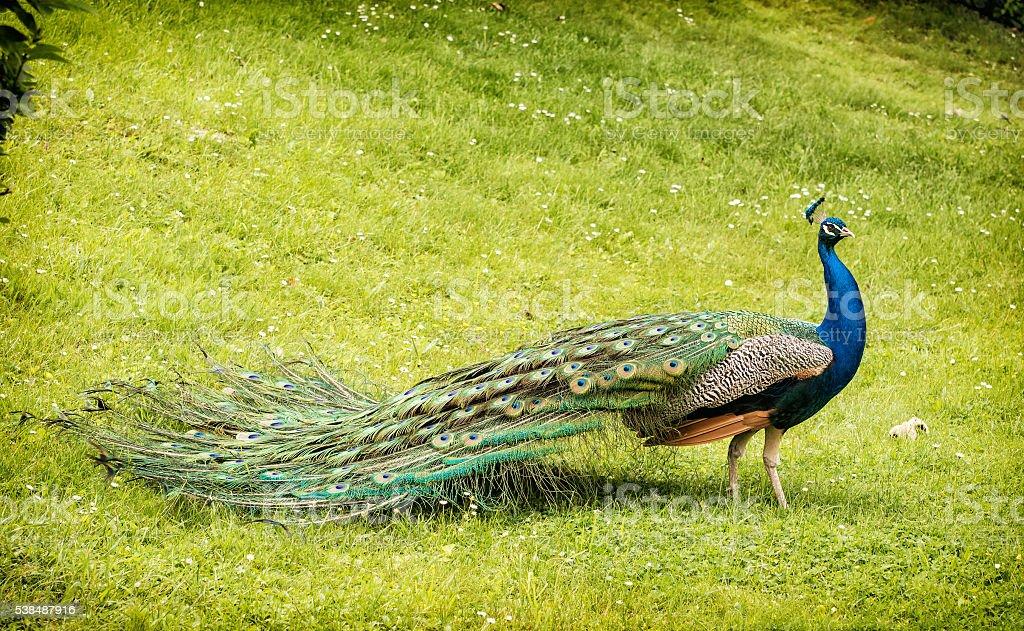 Beautiful Indian peafowl - Pavo cristatus walking stock photo