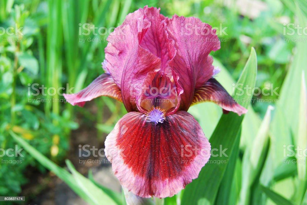 Beautiful iris, author's grade stock photo