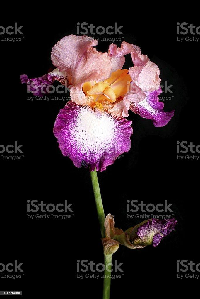 Beautiful iris flower royalty-free stock photo