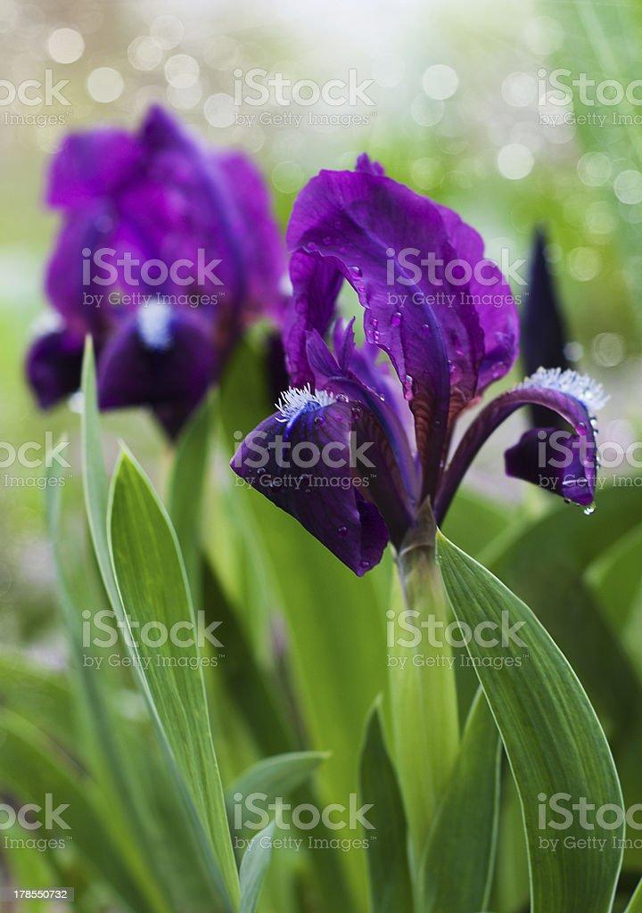 Beautiful  Iris royalty-free stock photo