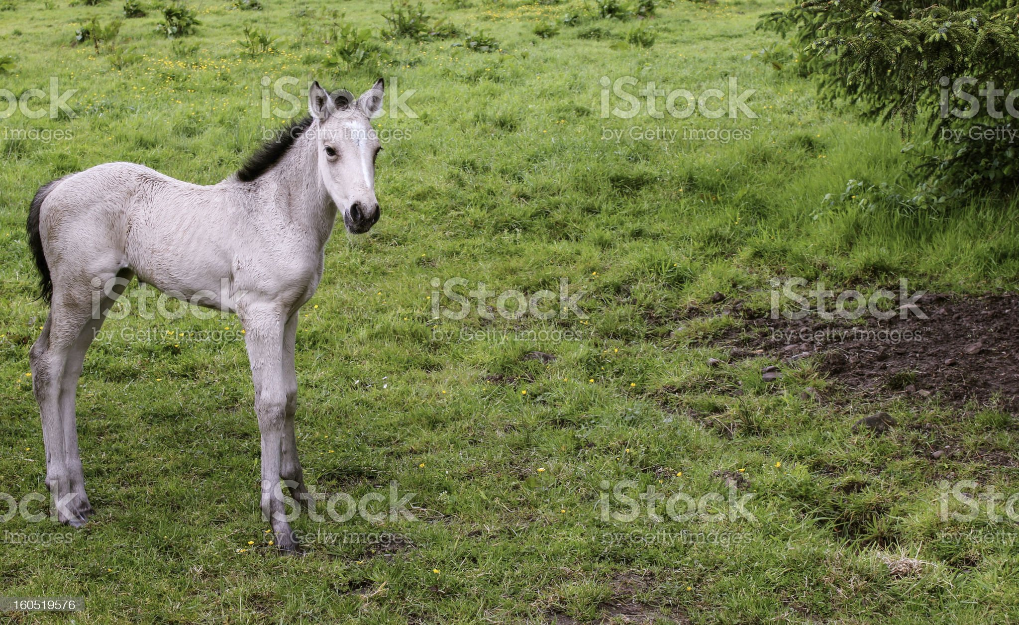 Beautiful Irish Colt royalty-free stock photo