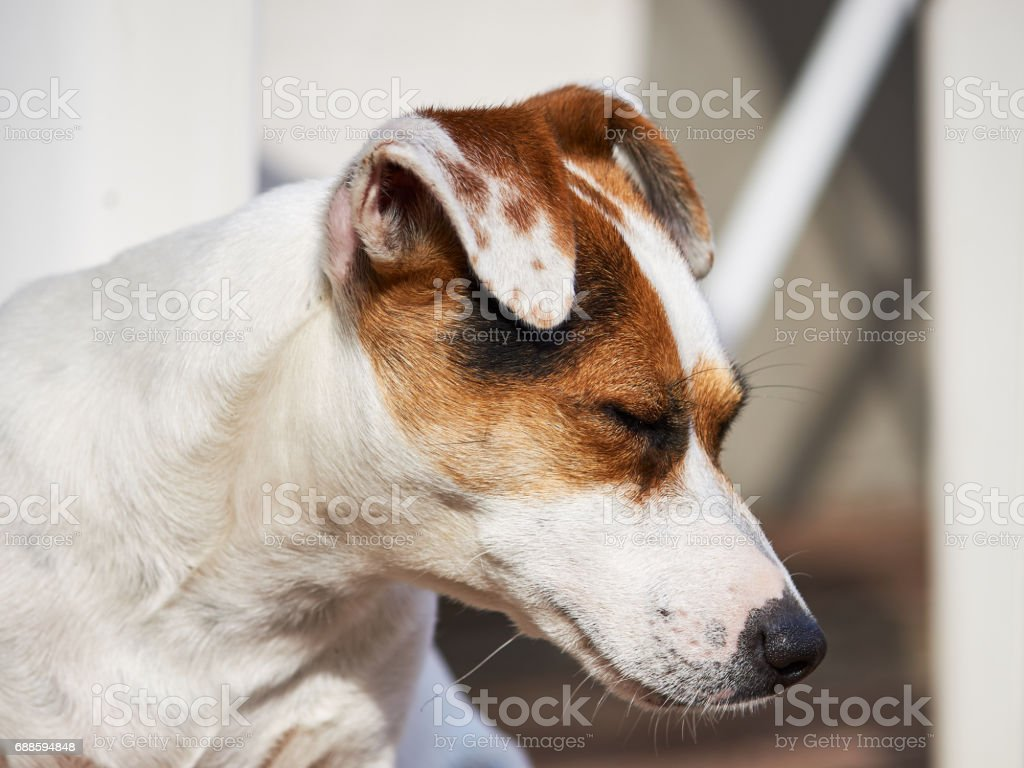 Beautiful Jack russell terrier lying on a wooden terrace in the sun. stock photo
