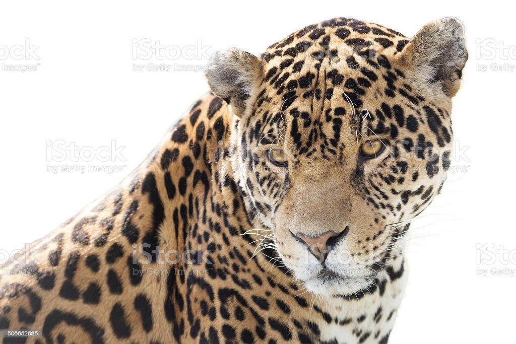 Beautiful jaguar stock photo