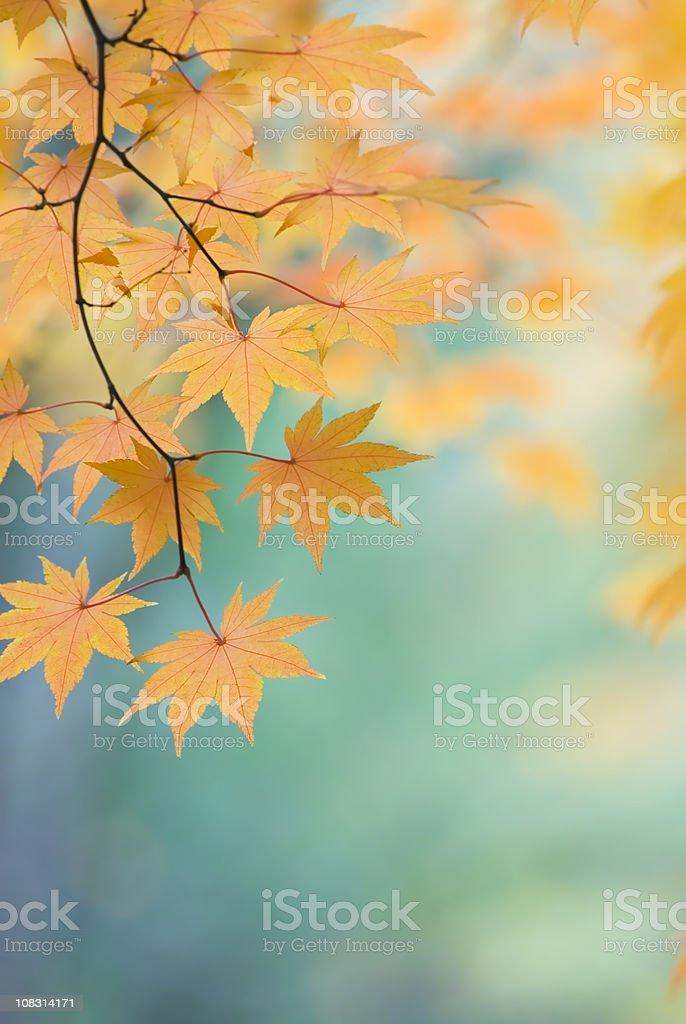 Beautiful Japanese Maple leaves - IX royalty-free stock photo