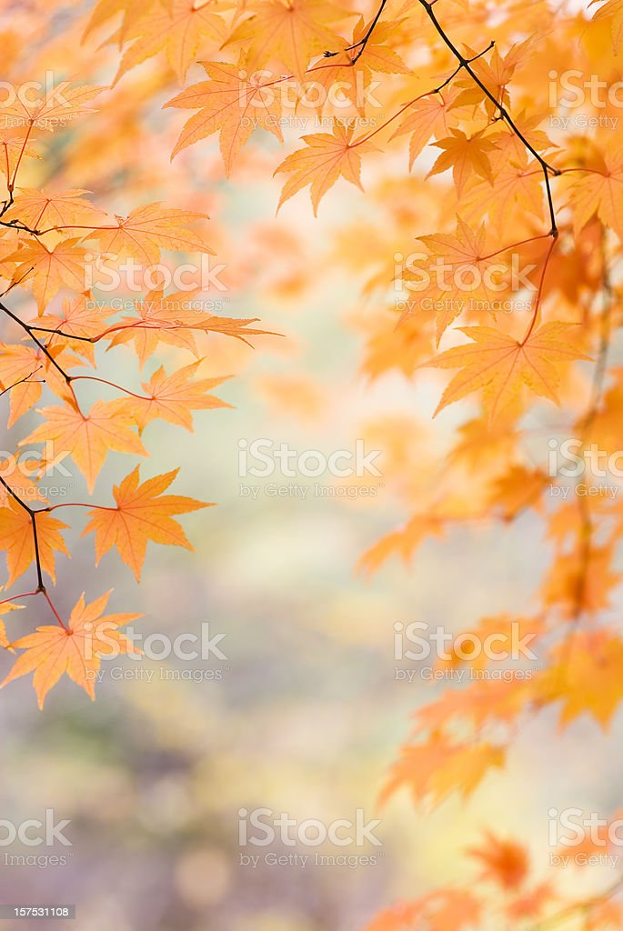 Beautiful Japanese Maple leaves - XIII royalty-free stock photo