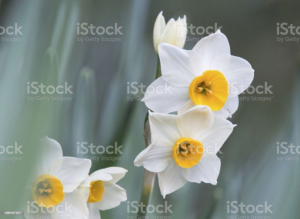 Beautiful Japanese narcissus stock photo