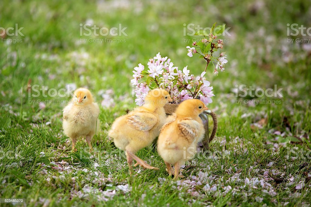 Beautiful jar with pink flowers and little chicks stock photo