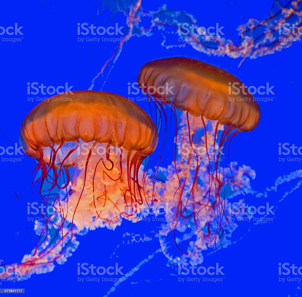 beautiful Jelly fishes in the aquarium with blue background stock photo