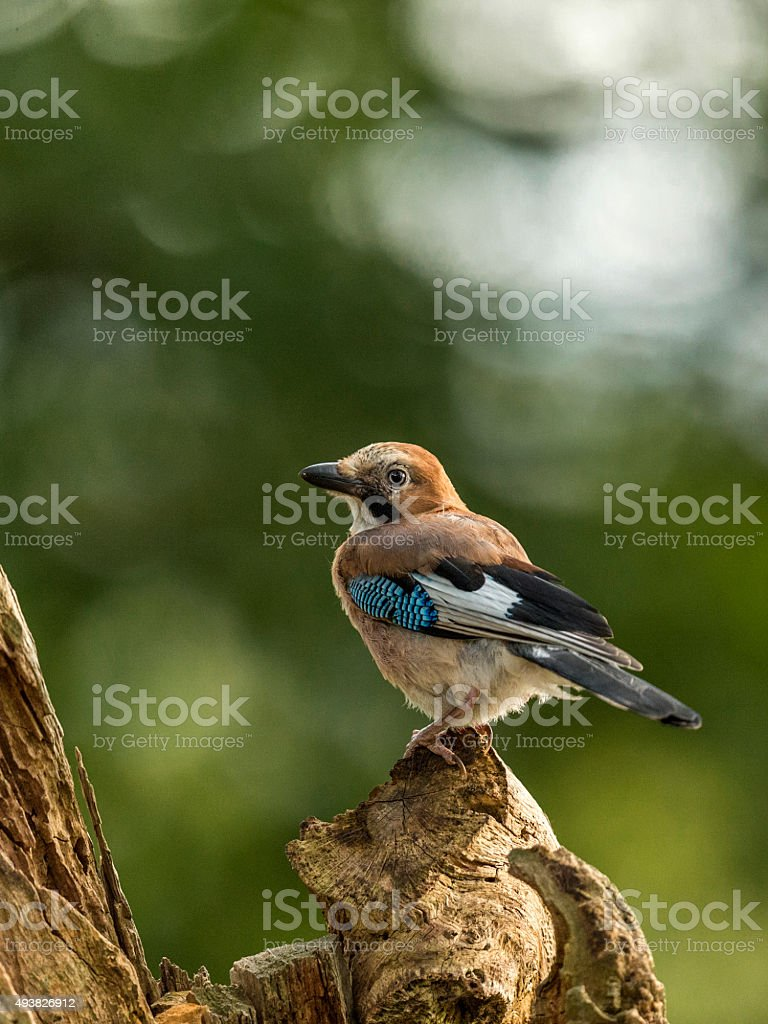 Beautiful Juvenile Eurasian Jay (Garrulus glandarius) stock photo