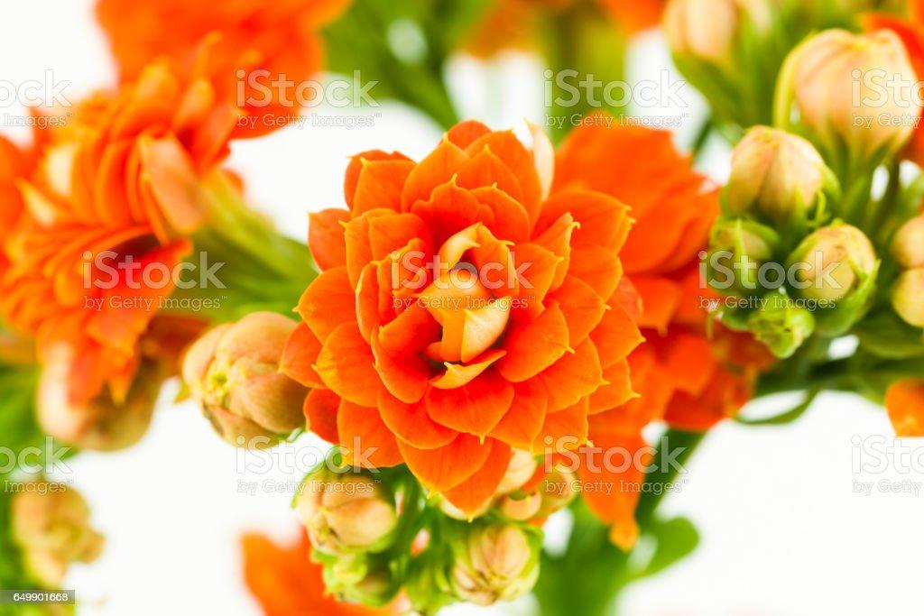 beautiful kalanchoe blossfeldiana flower isolated on white background stock photo