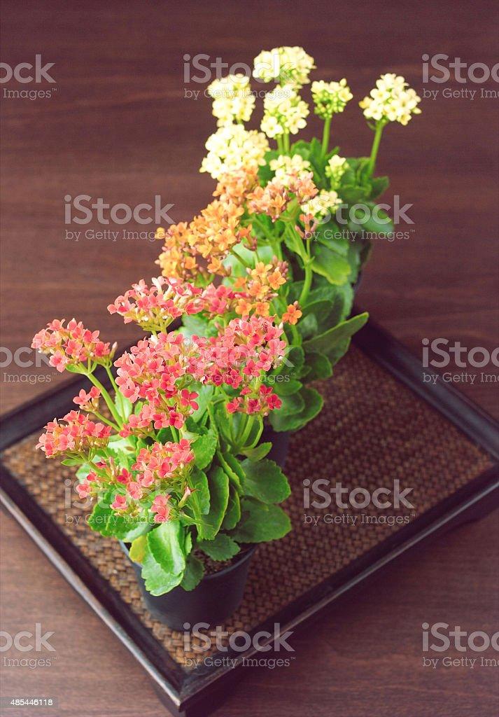 Beautiful kalanchoe flowers in small pots stock photo