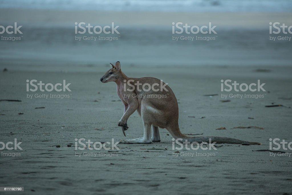 Beautiful kangaroo on the beach stock photo
