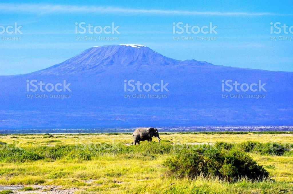 Beautiful Kilimanjaro mountain and elephant, Kenya,Amboseli national park, Africa stock photo