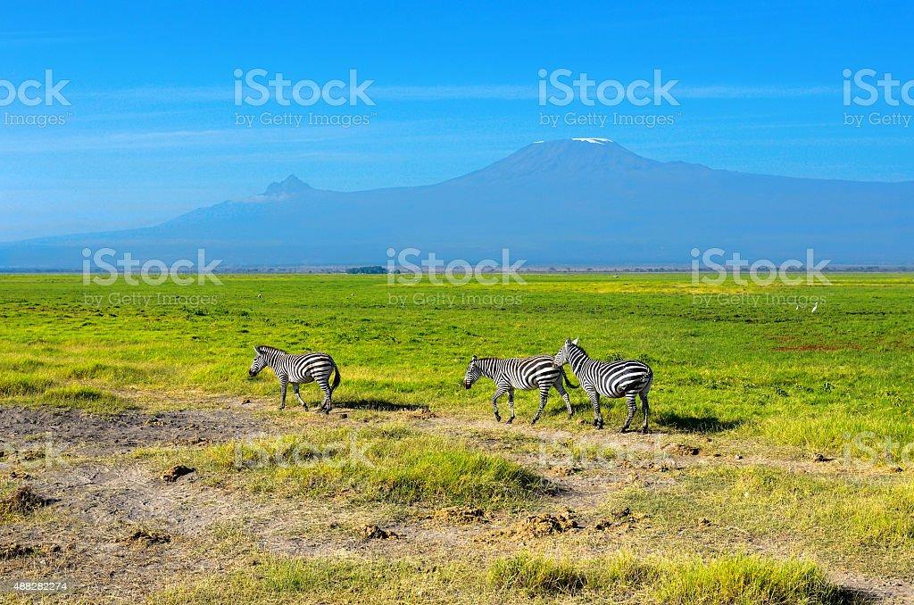 Beautiful Kilimanjaro mountain and zebras, Kenya stock photo