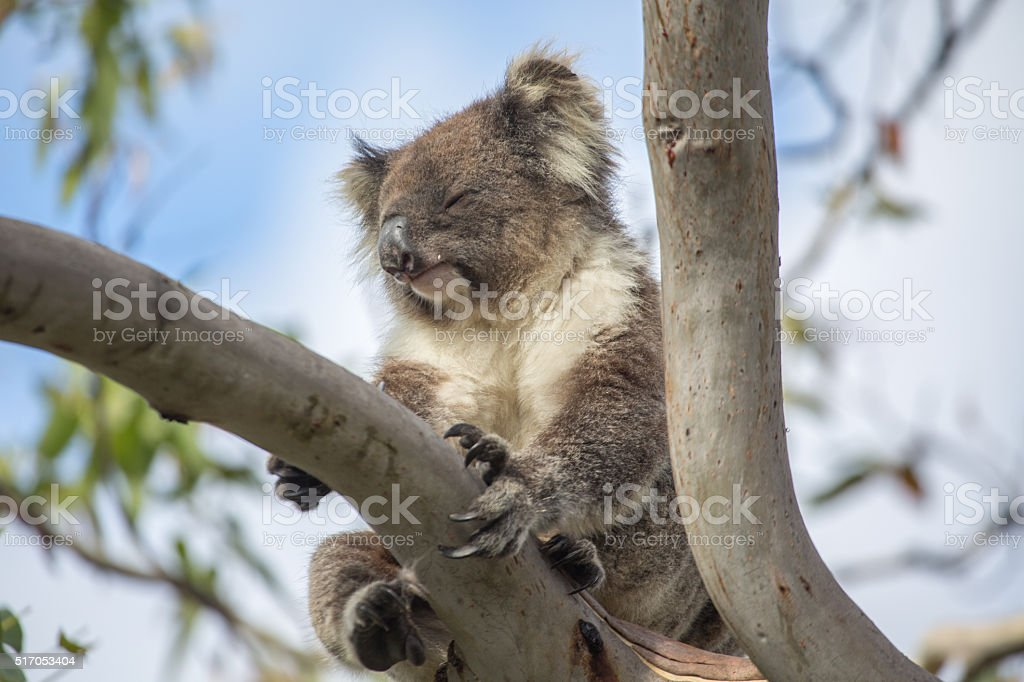 Beautiful koala on eucalyptus tree stock photo