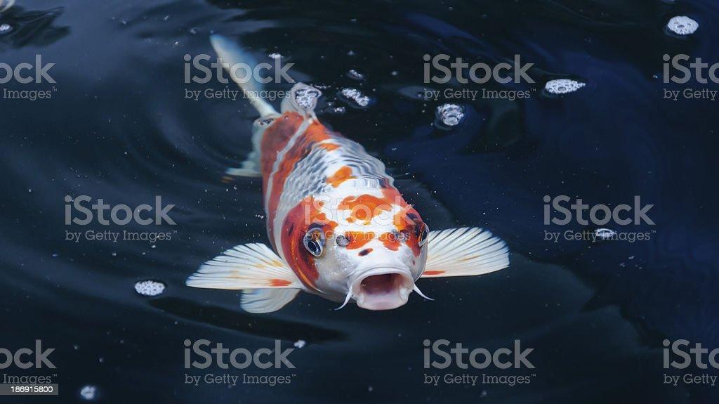 beautiful koi fish stock photo