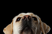 Beautiful Labrador retriever dog in front of isolated black background
