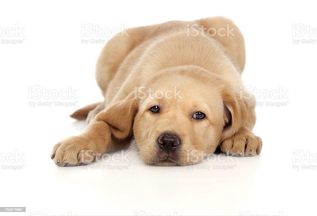 Beautiful Labrador retriever puppy royalty-free stock photo