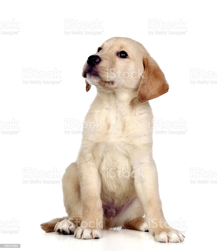 Beautiful Labrador retriever puppy royalty-free stock photo