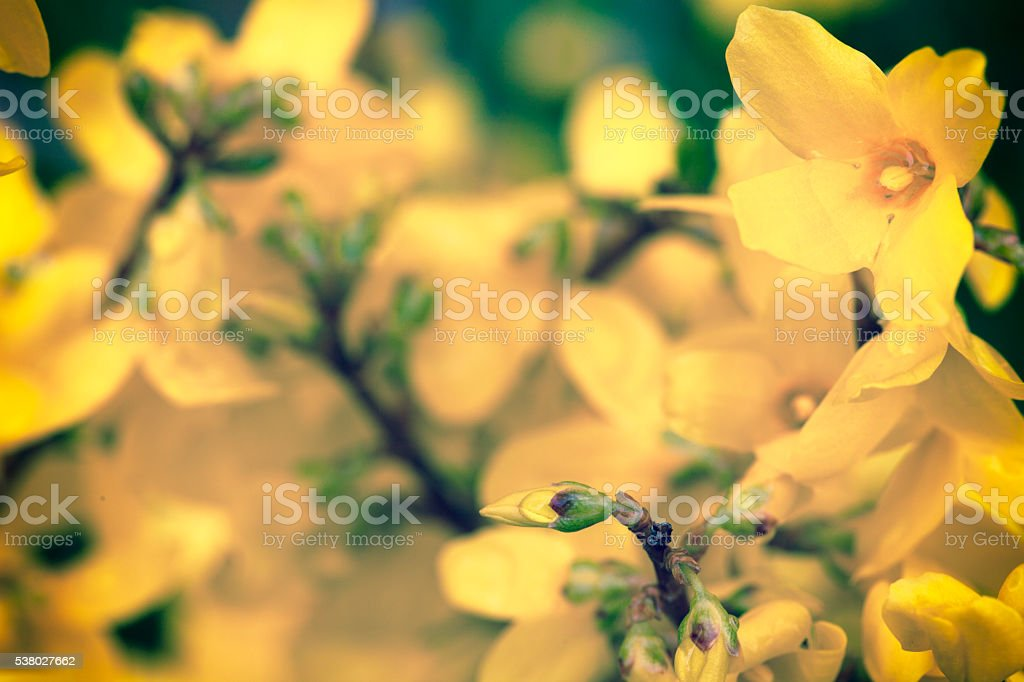 Beautiful Laburnum stock photo
