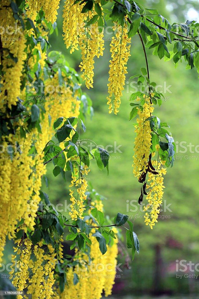 Beautiful laburnum plant stock photo
