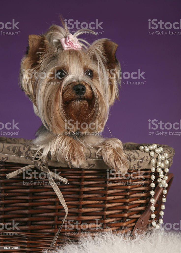 Beautiful lady yorkshire Terrier sittin in bascket royalty-free stock photo