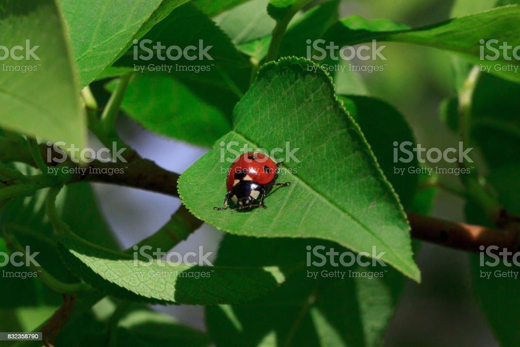 Beautiful ladybug sits on a green leaf of a tree. . stock photo