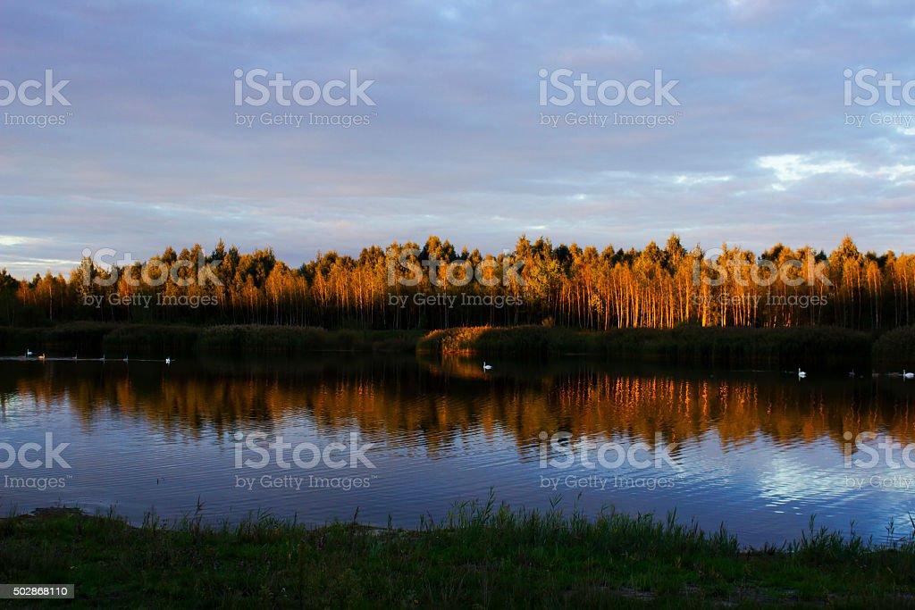 Beautiful lake with white swans stock photo