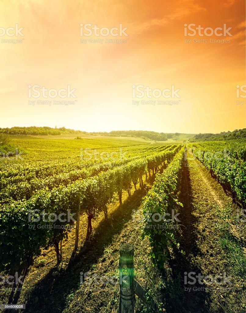 Beautiful landscape of vineyard stock photo